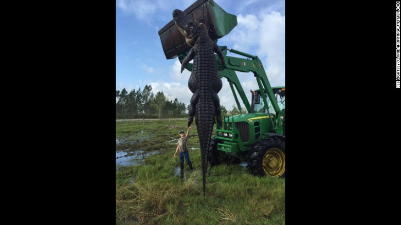 huge-florida-alligator